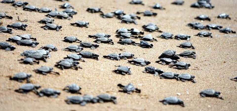 Coronavirus Lockdowns - Millions Of Newly Hatched Turtles Crawl Towards The Sea In India