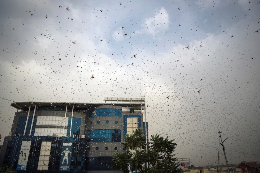 India Faces Worst Desert Locust Attack In 27 Years
