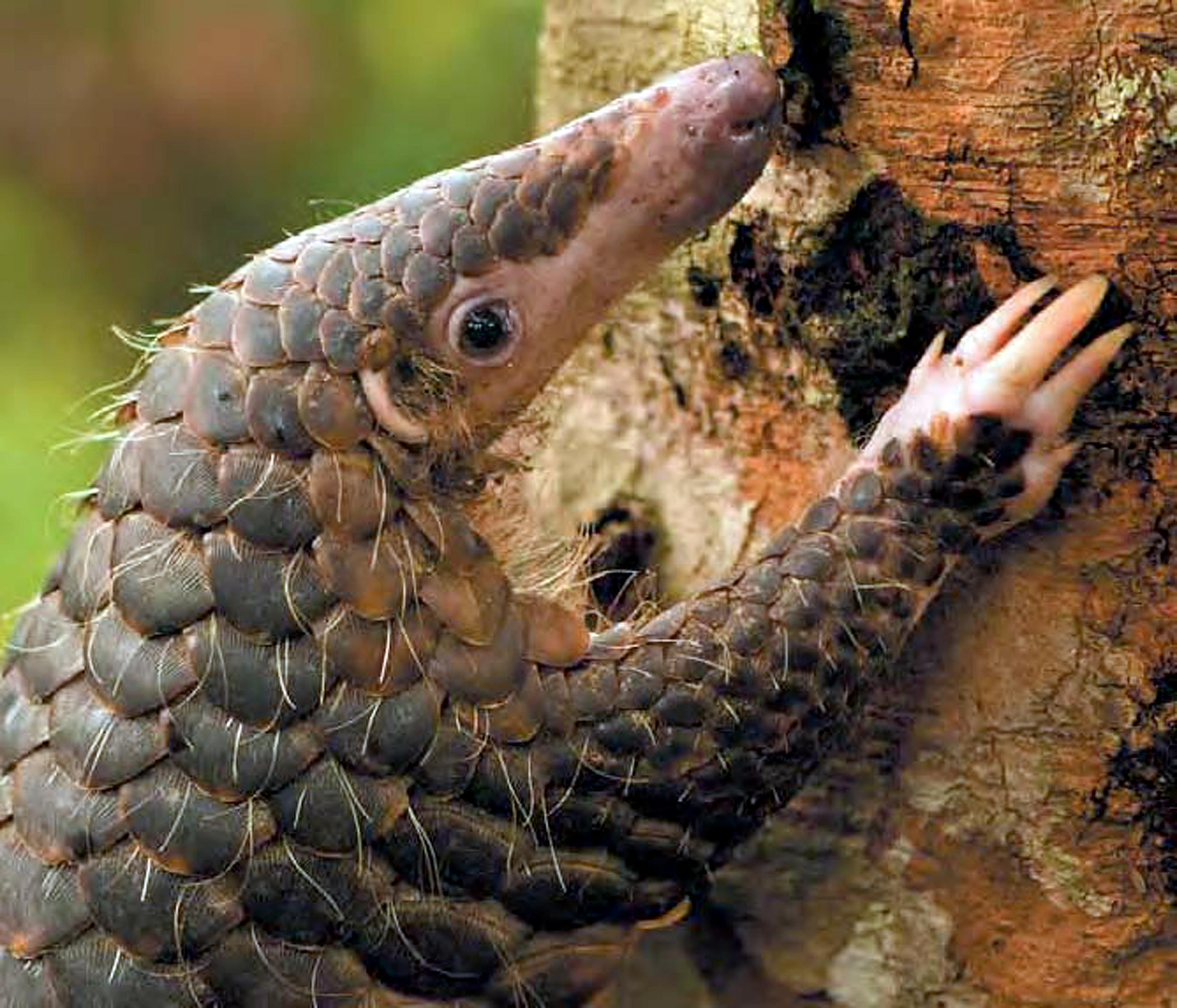 China Accords High Level Protection To Pangolins Post-COVID